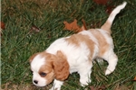 Picture of Adorable Sam - Male AKC available