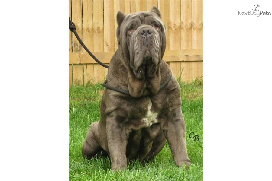 Neapolitan mastiff puppy for sale near indianapolis indiana