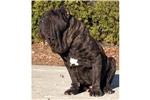 Picture of a Neapolitan Mastiff Puppy