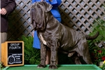 Picture of Blue Male Pup Sired by #1 ranked Neo AKC