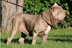 Picture of Blue Female Pup Sired by #1 ranked Neo AKC