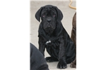 Picture of Black female pup available