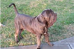 Picture of il Drago Blue Male Pup available