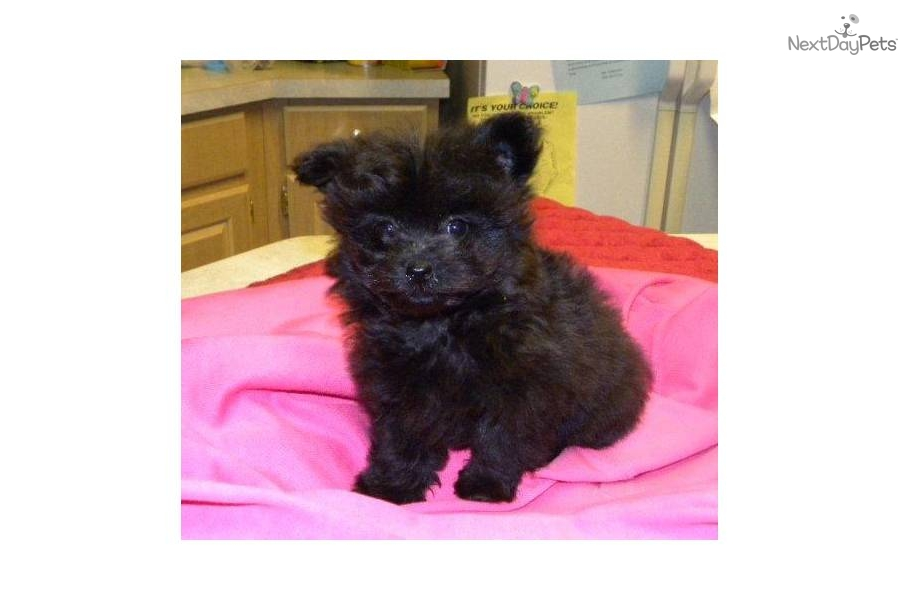 Poma-Poo - Pomapoo puppy for sale near Las Vegas, Nevada ...