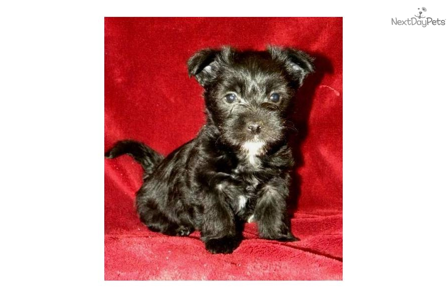 Meet Candy's Litter a cute Yorkiepoo - Yorkie Poo puppy for sale for ...