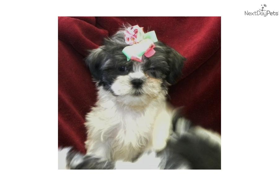 Meet simone a cute shih tzu puppy for sale for 600 one little shih