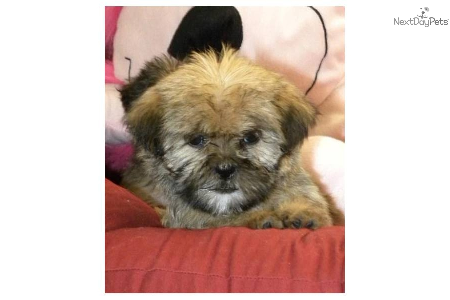 ... Shih-Poo - Shihpoo puppy for sale for $700. Shih Tzu/ Yorkie (Shorkie