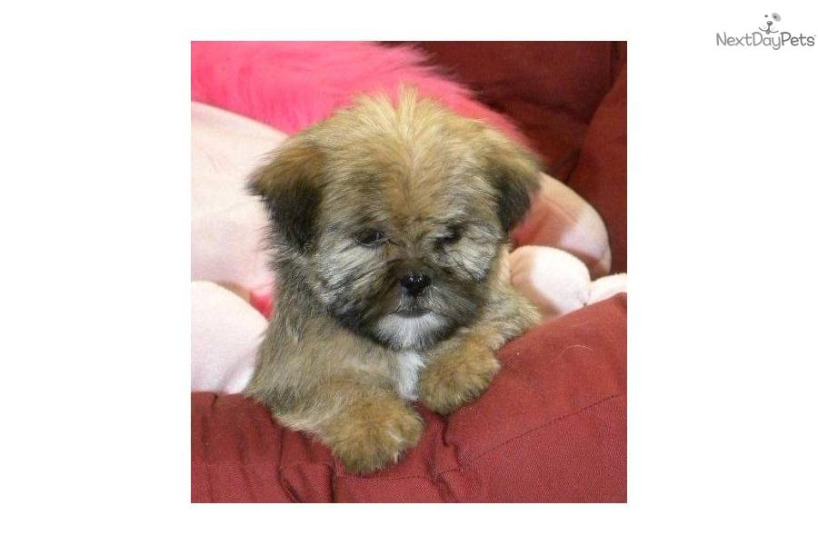 shih-tzu-yorkie-shorkie-pupdog-shih-poo-shihpoo-puppy-f5211b53-26a4 ...