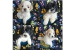 Picture of Maltipoo Male pups