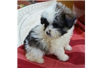 Picture of Precious Tiny Pomapoo Puppy