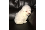Picture of Precious Toy Poodle Babies