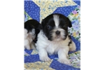 English Toy Spaniel for sale