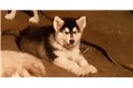 Picture of St Francis Malamutes' Leona