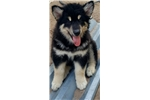 Picture of St Francis Malamutes' Moomba