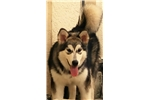 Picture of St Francis Malamutes