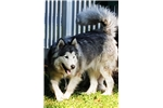 Picture of St Francis Malamutes' Jazz