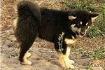 Picture of St Francis Malamutes' Kenya