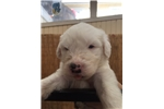 Picture of Echo AKC Old English Sheepdog Puppy