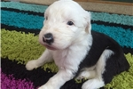 Picture of Gracie AKC Old English Sheepdog Puppy