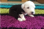 Picture of Citrine AKC Old English Sheepdog Puppy