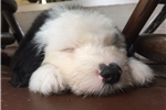 Picture of Isla AKC Old English Sheepdog Puppy