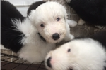 Picture of Snoopy AKC Old English Sheepdog Puppy