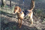 Treeing Walker Coonhound for sale