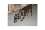 Picture of Patterdale Terrier Male two years old.