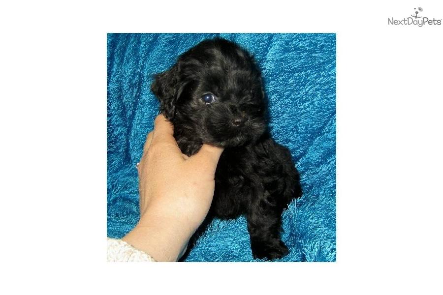 Cockapoo puppy for sale near Kansas City, Missouri | 99546e41-8d31