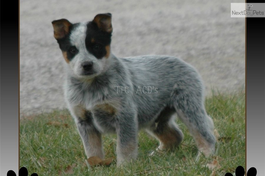 Solid blue australian cattle dog