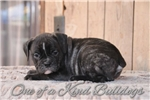 Picture of Brindle | Olde English Bulldogge |