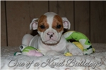 Picture of | Olde English Bulldogge |