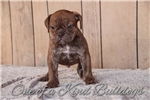 Picture of Chocolate Brindle | Olde English Bulldogge |