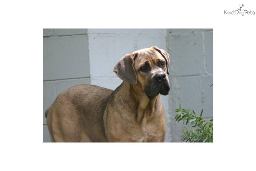 giant maso mastiff - photo #19