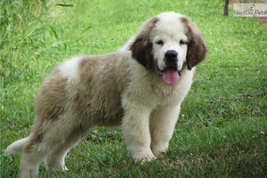 Meet babe a cute saint bernard st bernard puppy for sale for 850