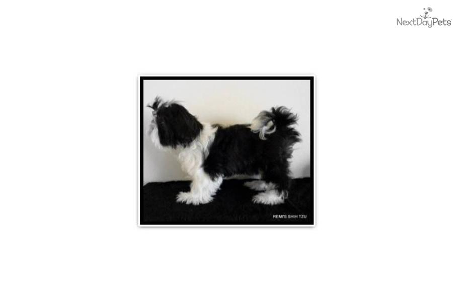 Puppies For Sale In Albuquerque >> Shih Tzu for sale for $1,000, near Albuquerque, New Mexico. a4b4c035-37a1