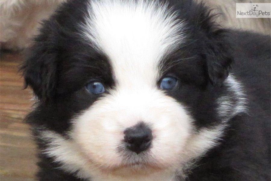 Meet Noel a cute Australian Shepherd puppy for sale for $1,000 ...