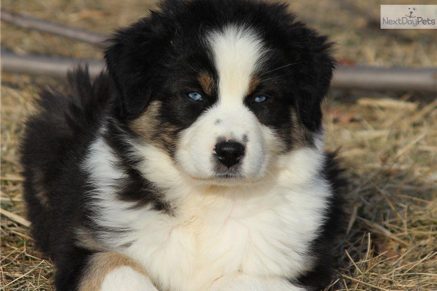 Australian Shepherd Puppies Black Tri Akc/asca blue-eyed, black tri