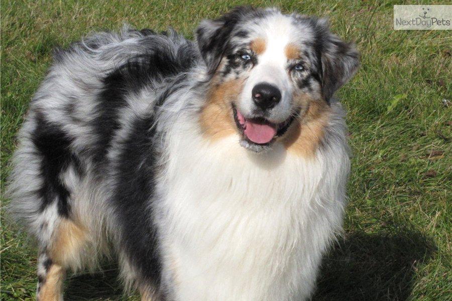 Australian shepherd puppy for sale near battle creek michigan