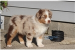 Picture of AKC/ASCA red merle male Comet
