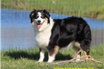 Picture of AKC/ASCA Black Tri Female Spayed Adult