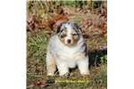 Picture of AKC/ASCA Blue Merle Female Hope