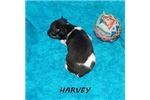 Picture of HARVEY ~ UKC