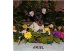 Picture of ARIEL ~ UKC