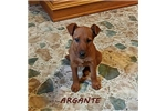 Picture of ARGANTE ~ AKC
