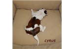 Picture of CYRUS ~ AKC