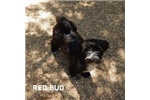 Picture of RED BUD
