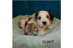 Picture of CLINT ~ AKC