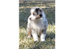 Picture of Meet Boone AKC Blue Merle w/ Bright Blue Eyes Male