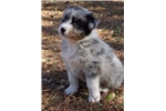 Picture of Meet Maisie AKC Blue Merle w/ Marbled eye Female